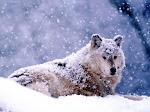 Os Lobos Possuem