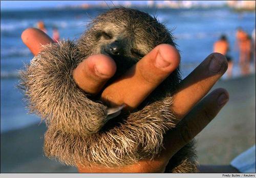 sloth_2_Baby_Sloths-s500x348-301460-580.