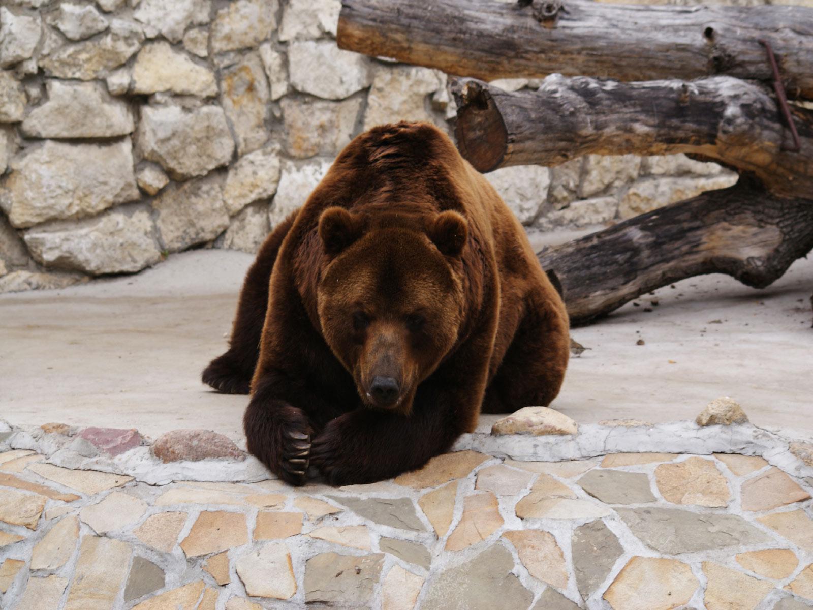 http://1.bp.blogspot.com/-uvfMXFQ7Zqc/Thlin_Bq49I/AAAAAAAALtc/v-hyaIxvaXs/s1600/The-best-top-desktop-bears-wallpapers-hd-bear-wallpaper-22-beautiful-brown-bear.jpg