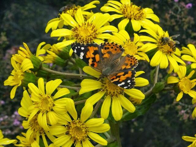 石蕗(つわぶき) の花と蝶。