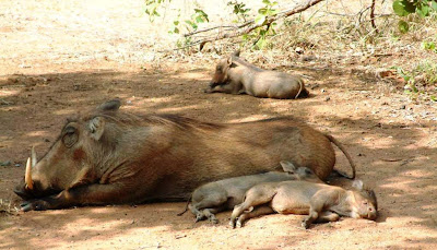 Warthog-Lying-With-Babies-In-The-Shade