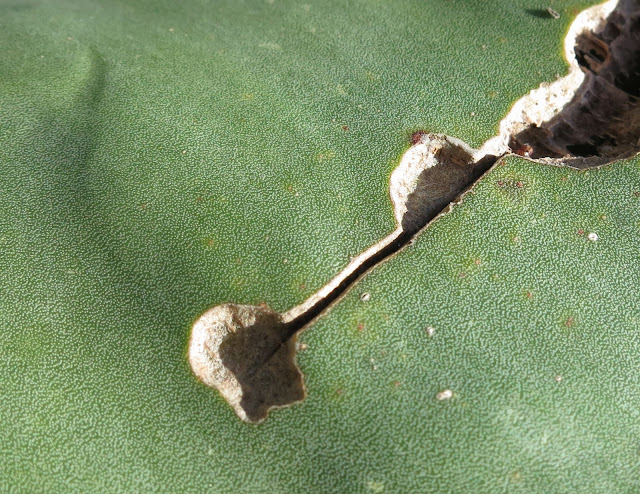 Long mark (pale brown) on green agave leaf.