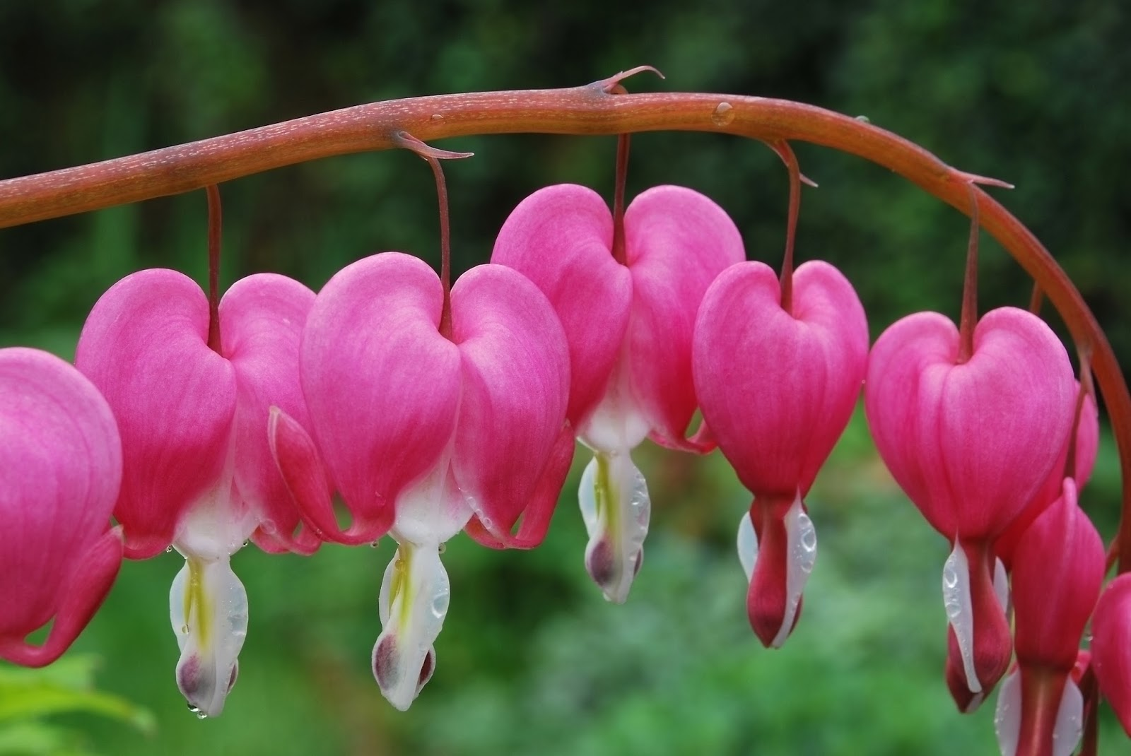 romantic flowers bleeding heart
