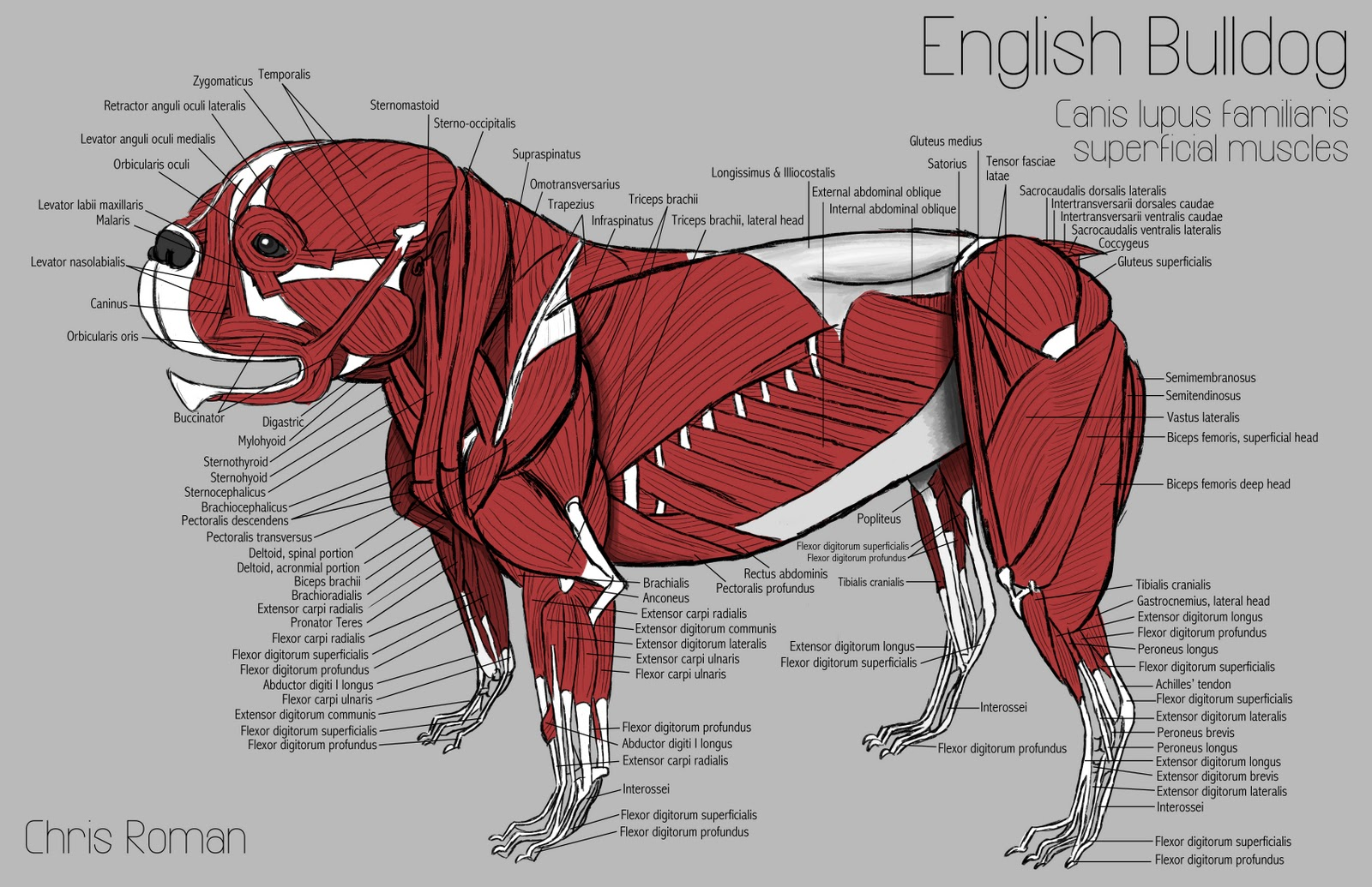Dog body anatomy
