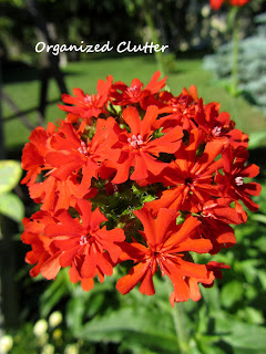 Cottage Garden - Maltese Cross