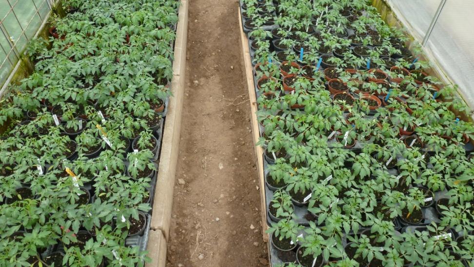 kleiner gem sek nig 1 verkauf von tomatenpflanzen ab hof. Black Bedroom Furniture Sets. Home Design Ideas