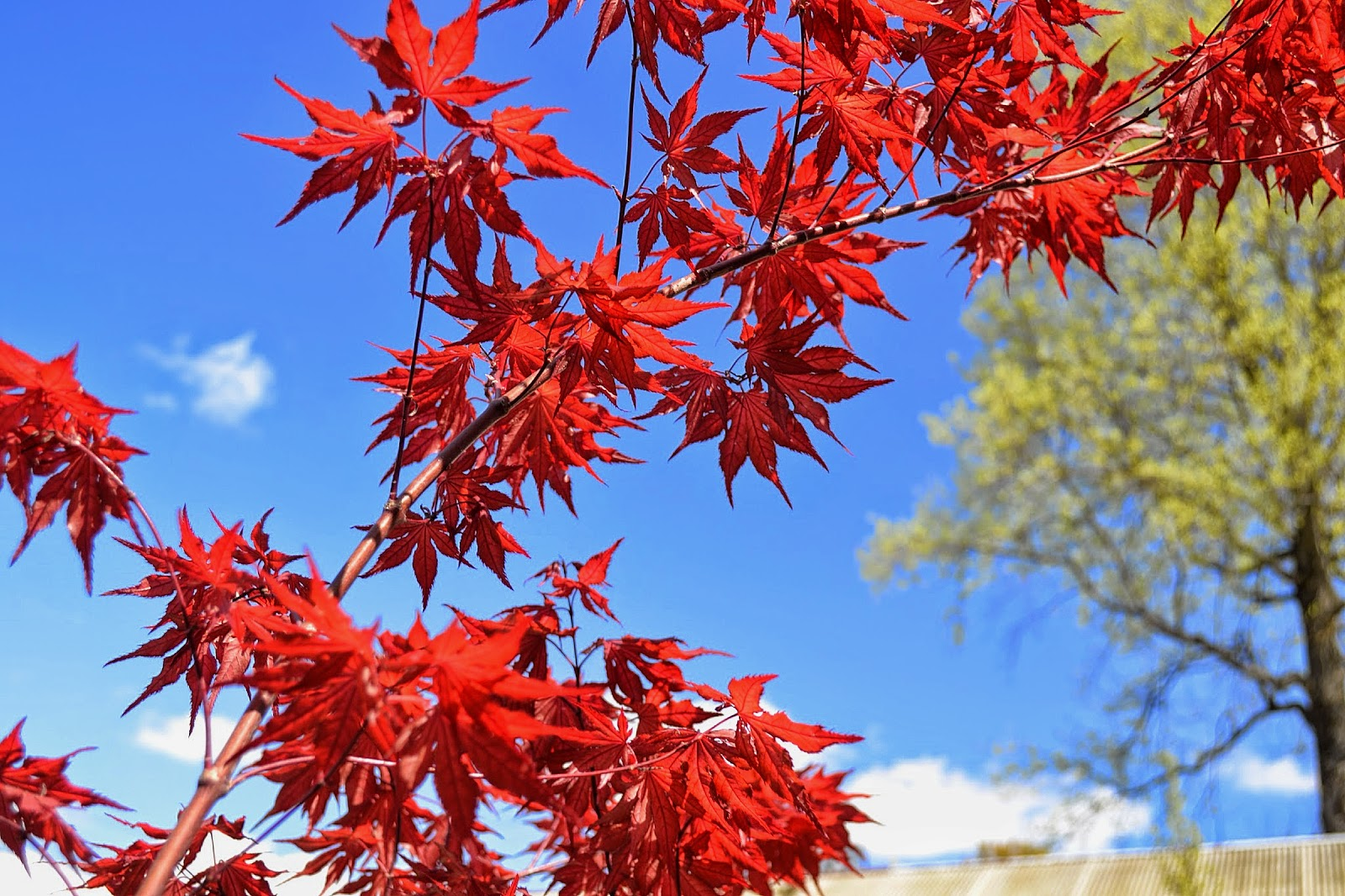 The Outlaw Gardener Acer Palmatum Amagi Shigure Is My