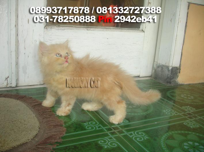 Dijual Kitten Medium Jantan Cream Harmony Cat Jasa