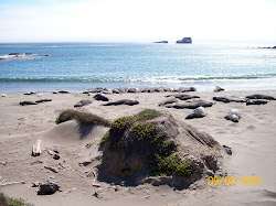 Elephant Seals on California Coast