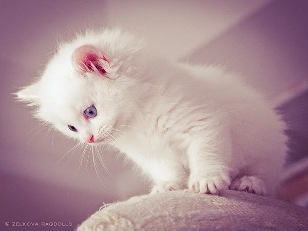 Photo chaton blanc mimi