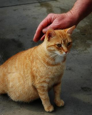 беременная рыжая кошка гладит рука человека