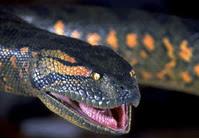 Funny Anaconda