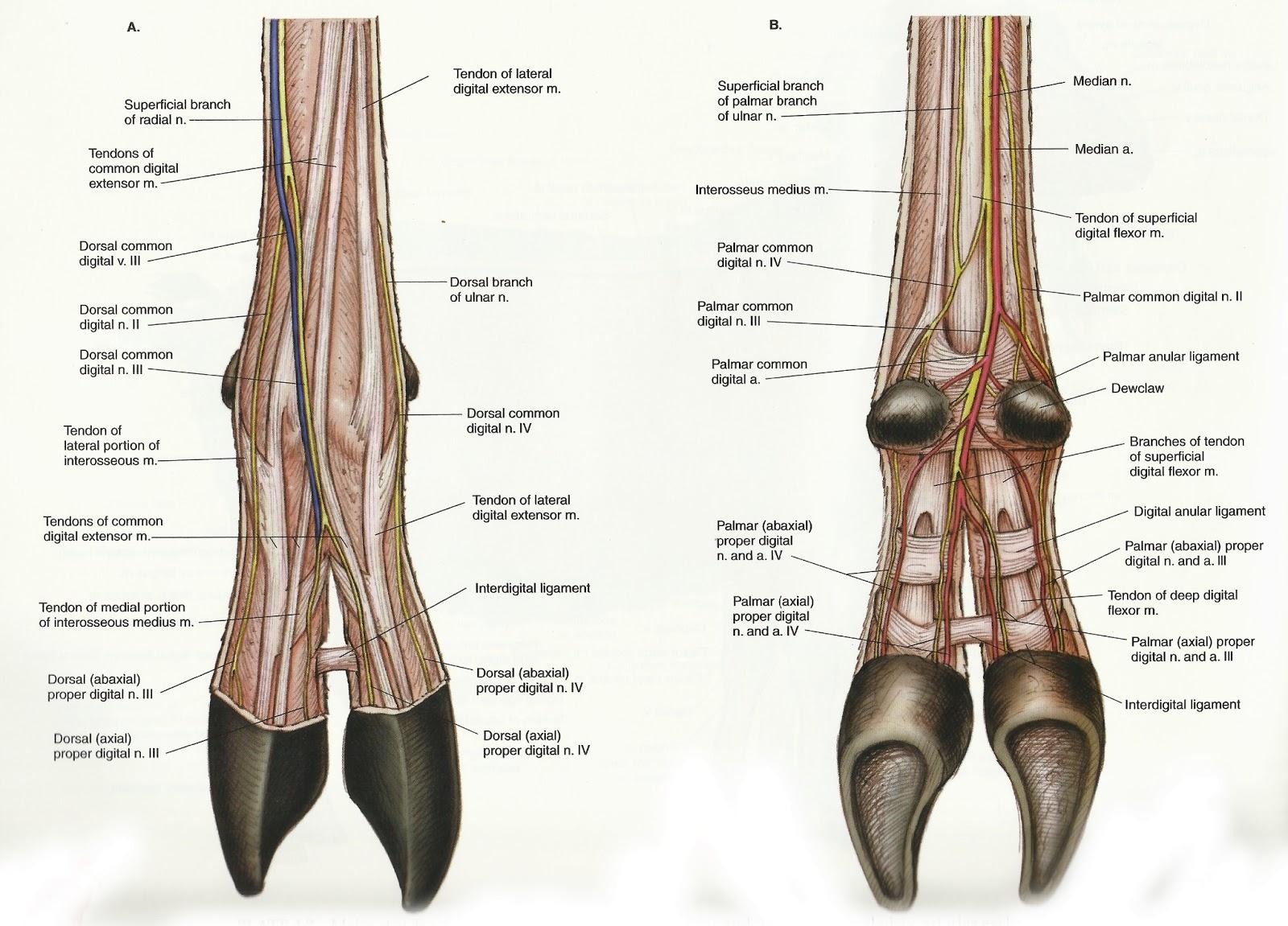 Archer\'s Acres: Anatomy : Capra hircus