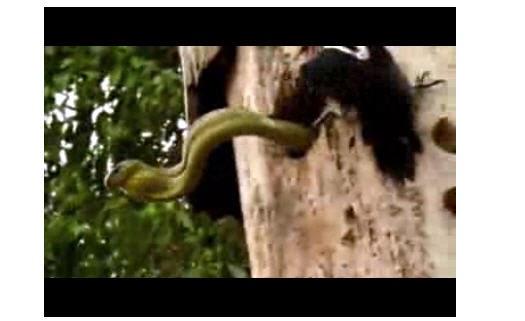 شاهد ماذا فعل هذا الطائر عندما عاد لعشه ليجد الثعبان يفترس أطفاله ..