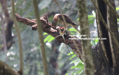 Chinese Sparrow Hawk in Bidadari