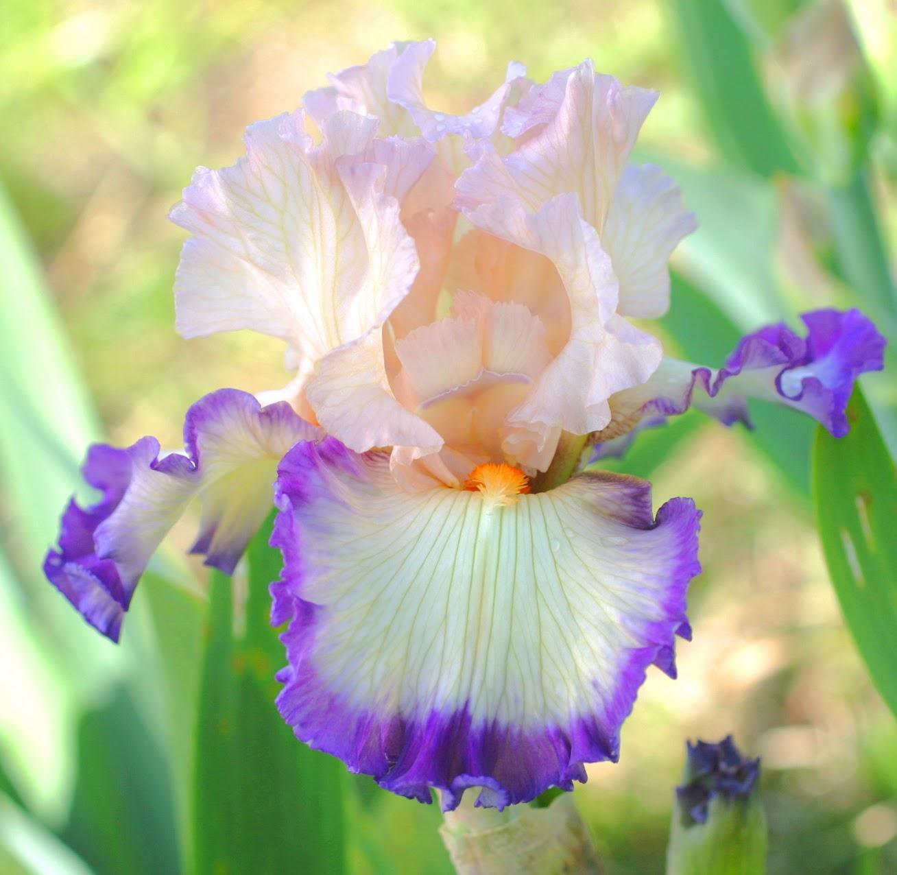 Flower Homes Bearded irises Flowers