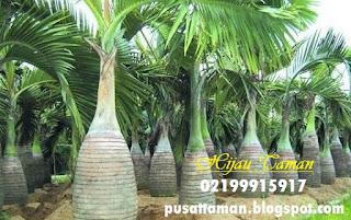 Jual Palem Botol Murah | Pohon Palem | Tanaman Pelindung
