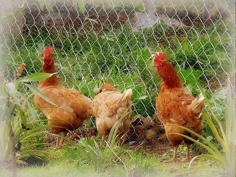 Three Stooge Hens