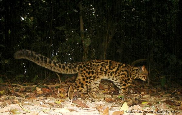 White Wolf The Marbled Cat Rare Footage Of A Very