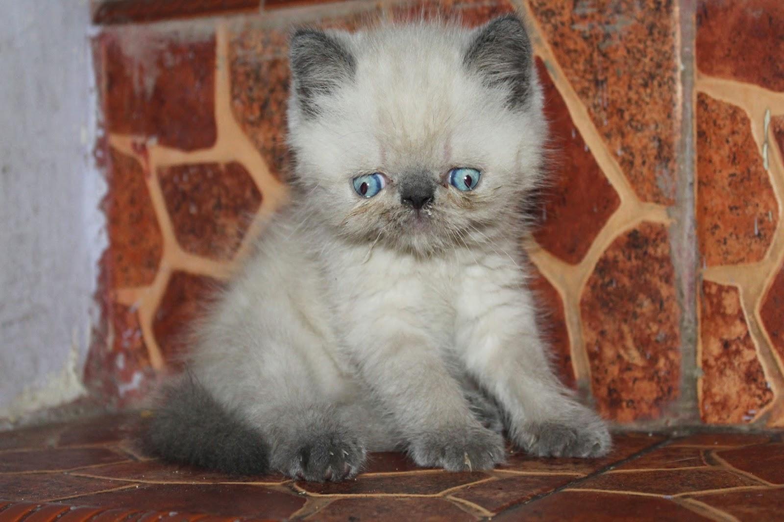 Harga Kucing Persia Peaknose Segitu Petshop