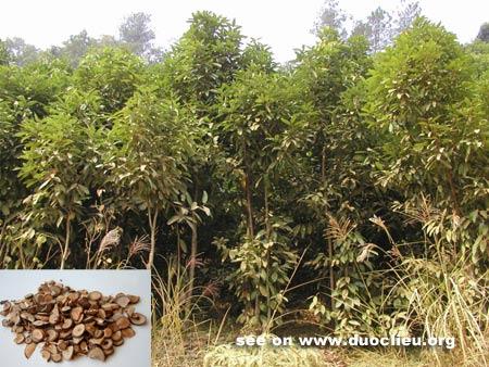 Cinnamomum cassia Presl