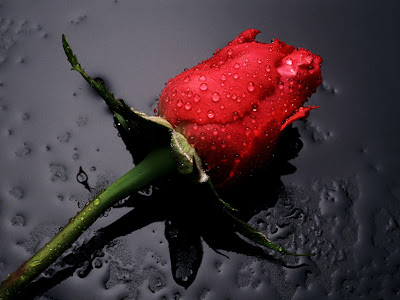 Red Rose Flower Wallpaper For Desktop