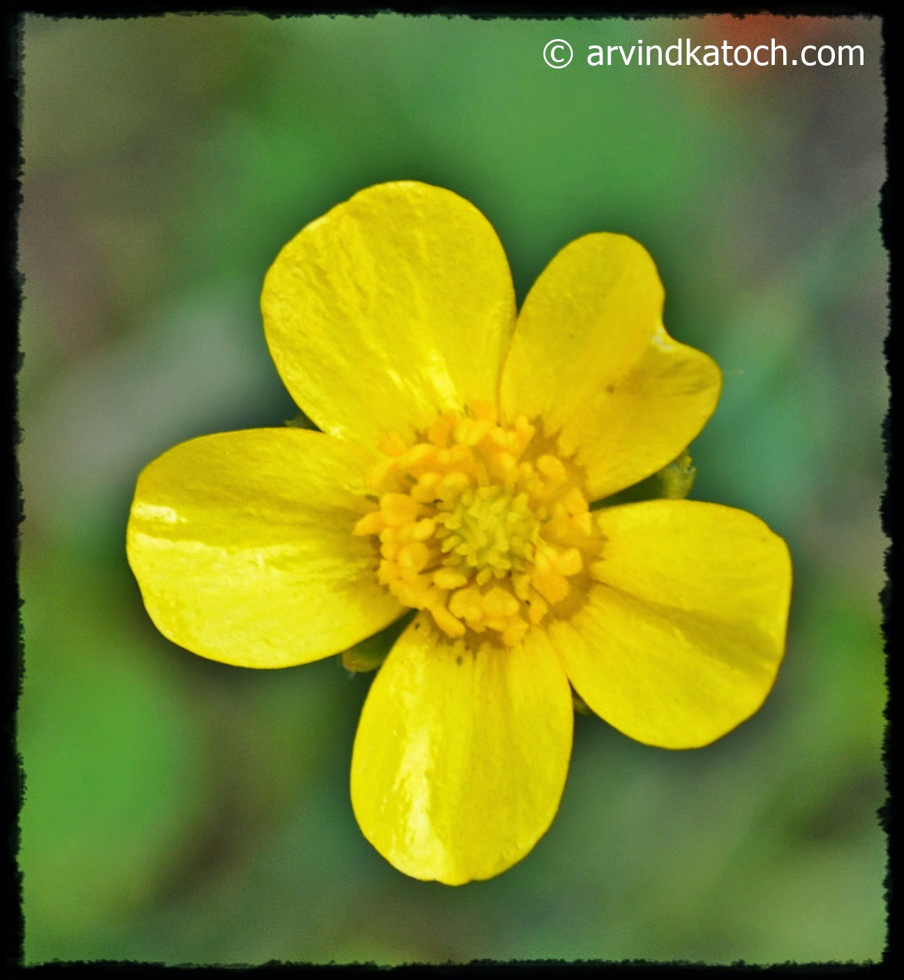 Yellow, Flower, Forest, Himachal
