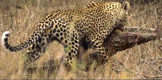 Leopardo con un cocodrilo de presa