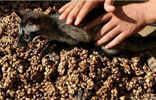 Kopi Luwak - Civet Coffee