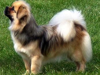 Tibetan Spaniel Dogs