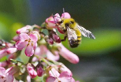 relatioship animals abeja dorada del norte Bombus fervidus