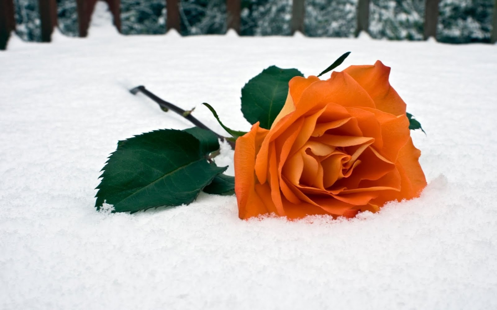 Orange Rose on the Snow