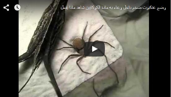 وضع عنكبوت ضخم داخل وعاء به مادة الكوكايين شاهد ماذا يفعلبواسطة