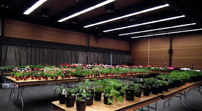Blooming pelargoniums and geraniums at the 2011 Plant Sale of Canadian Geranium and Pelargonium Society