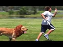 Leão perseguindo pessoas