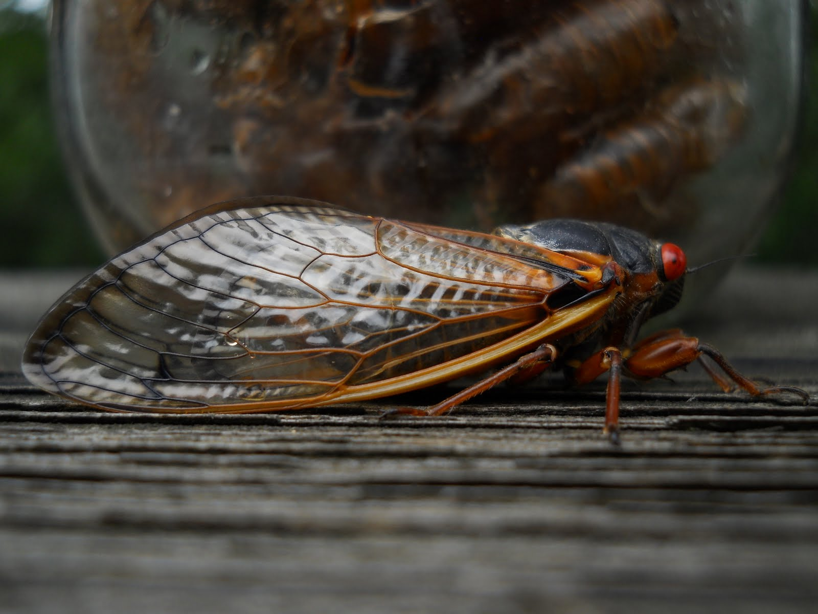 a study of cicada Sphecius speciosus, the eastern cicada killers, have begun to emerge and they make the national media hype over the cicadas look rather misplaced hunting, warring, patrolling, tunneling, they do more in two months--the length of their adult lives--than periodical cicadas do in 17 years.