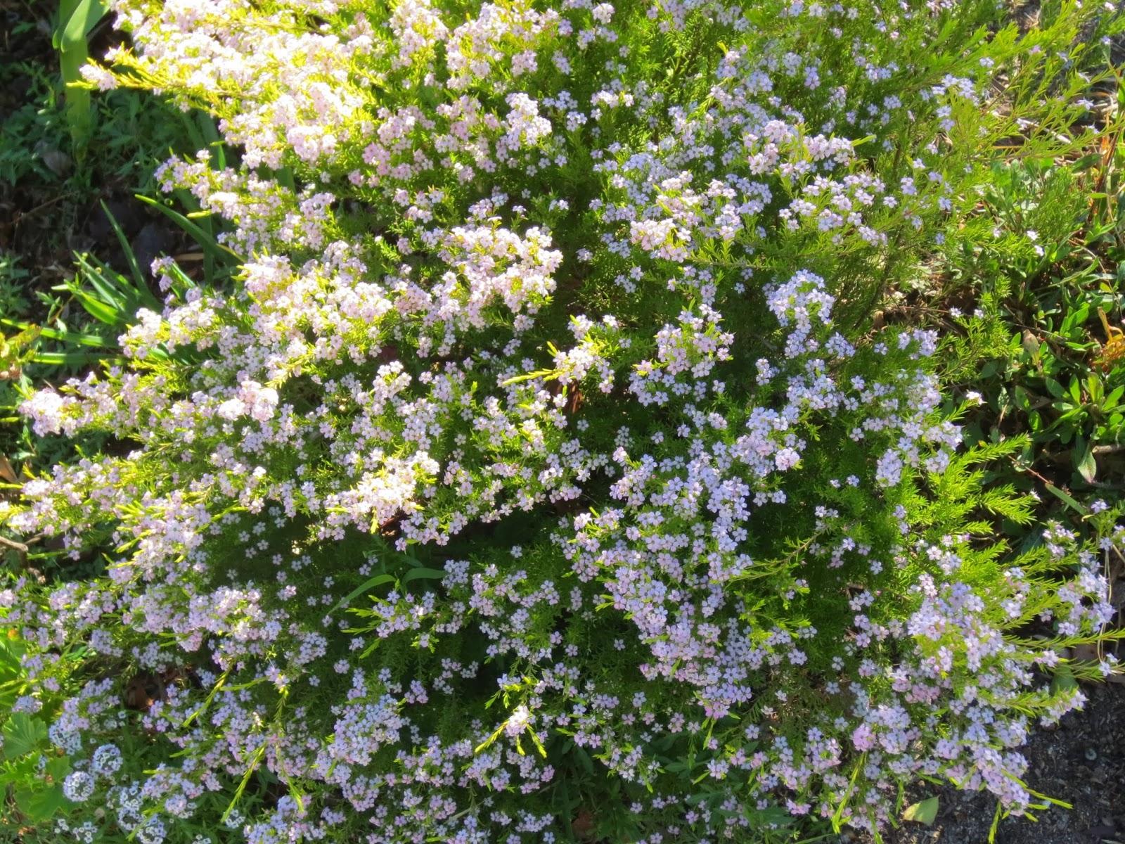 Picture of Live Breath of Heaven aka Coleonema pulchrum Shrubs Plant Fit 5 Gallon Pot
