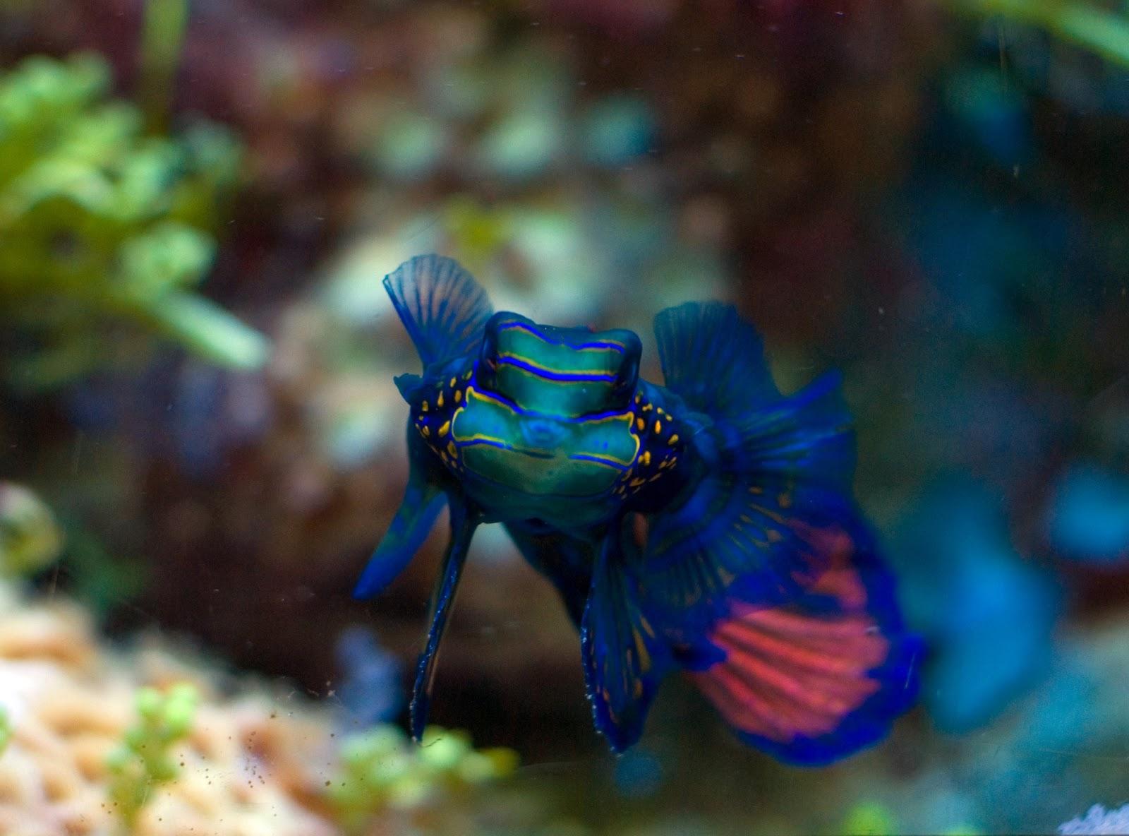 Aquarium Fish Mandarin Fish Animals Library