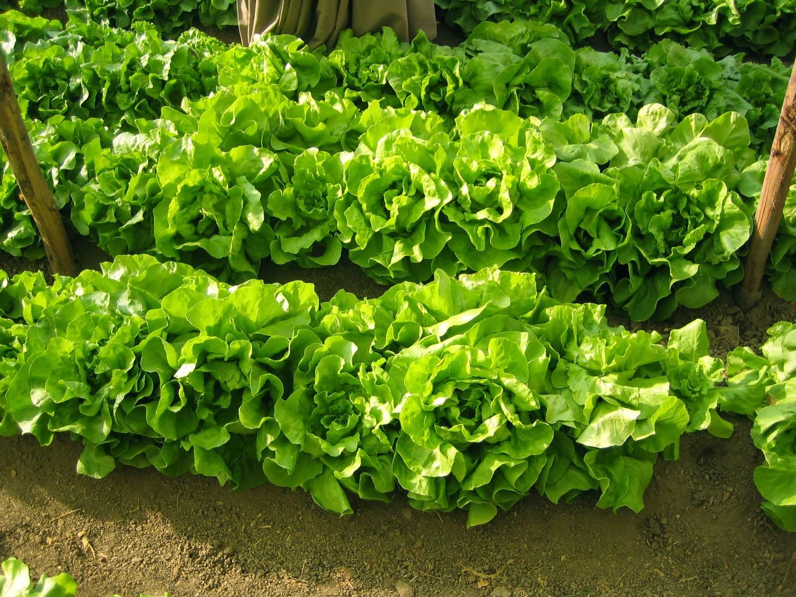 Tipos de hortalizas seg n sus requerimientos de suelo y - Preparacion de la tierra para sembrar ...