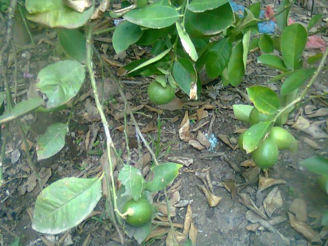 Pohon Jeruk Nipis Menghasilkan Buah Cukup Banyak