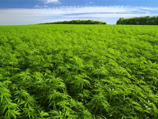 Asume que llega su fin de ciclo Cannabis