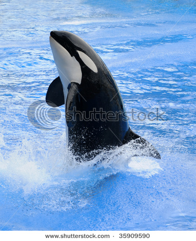 Orca Whales Jumping