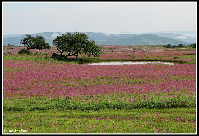 Kaas Plateau: Valley of flowers