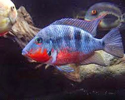 ... Firemouth as Good Freshwater Aquarium Fish Parents - Freshwater Fish