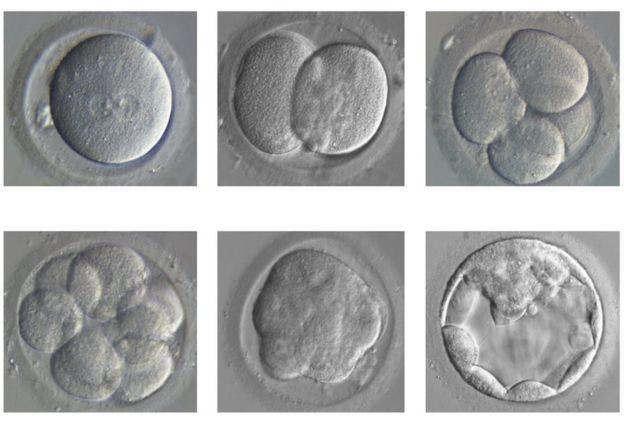 Las divisiones de embriones se desarrolla a partir de un solo huevo fertilizado (arriba izquierda) hasta un blastocisto (abajo a la derecha).