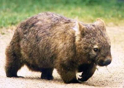 Lasiorhinus krefftii (Wombat del Norte)