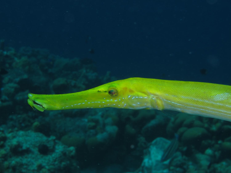 Rambling Jill: Trumpetfish