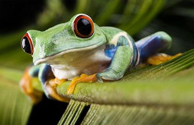 Rana de ojos rojos sobre la hoja verde - Red eyed frog