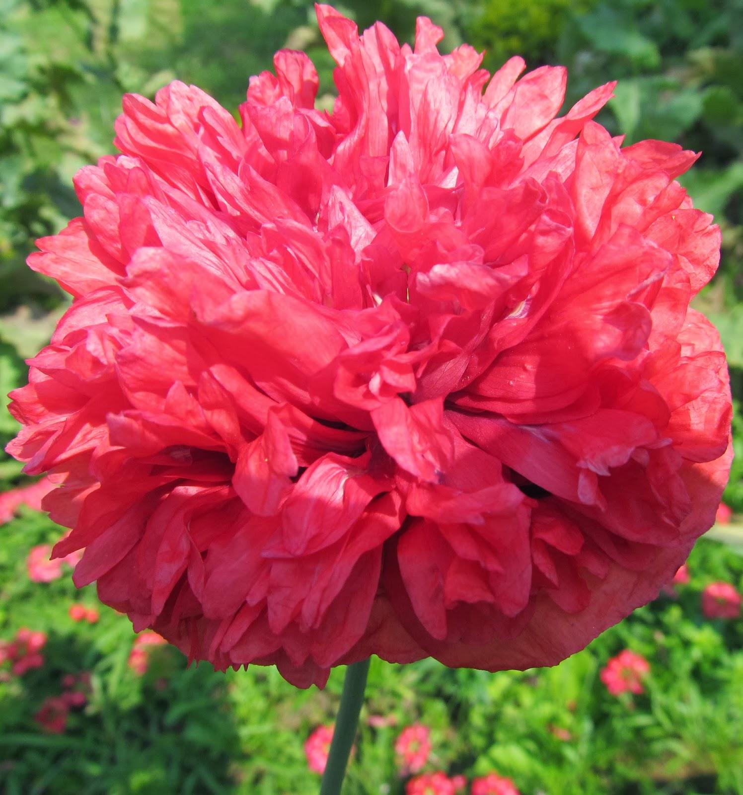 DOUBLE RED PEONY POPPY FLOWERRed Peony Flower