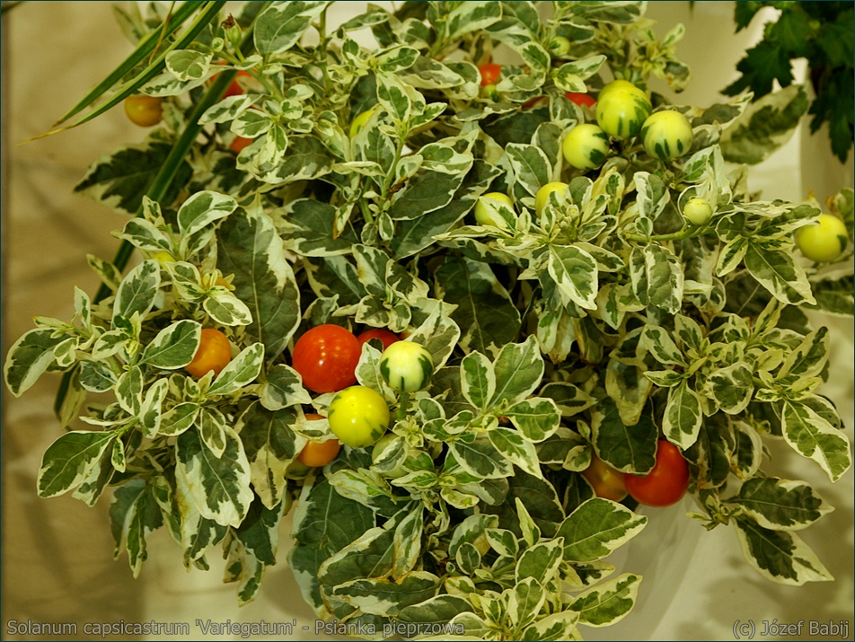 Solanum capsicastrum 'Variegatum' - Psianka pieprzowa, psianka paprykowa pokrój